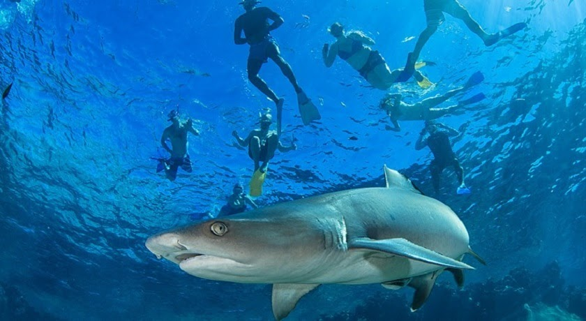 Ultimate Encounter - snorkelling with sharks